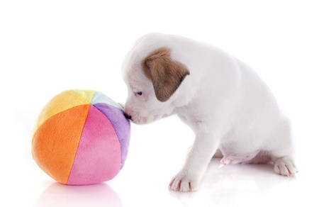 portrait of a purebred puppy jack russel terrier who playing with a ball in studio photo