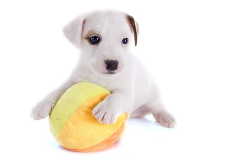 portrait of a puppy jack russel terrier with his ball in studio Stock Photo - 19756051