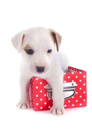 jack russel: portrait of a cute puppy jack russel terrier in box  in front of white background