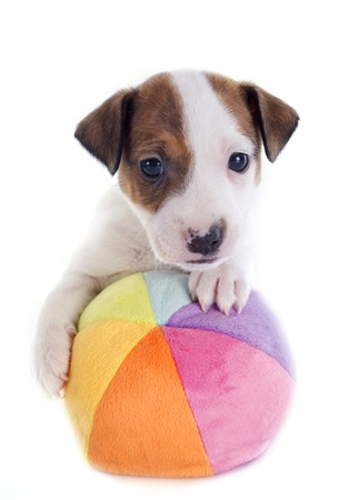 portrait of a puppy jack russel terrier with his ball in studio