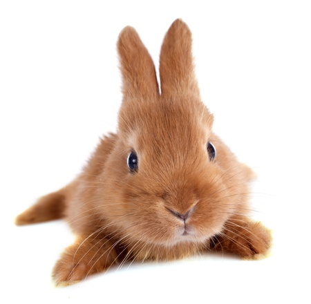 young rabbit fauve de Bourgogne in front of white background Stock Photo - 19756208