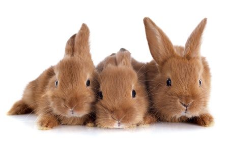 young rabbits fauve de Bourgogne sitting in front of white background