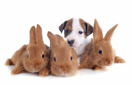 jack rabbit: portrait of a cute purebred  puppy jack russel terrier and bunnies in front of white background Stock Photo