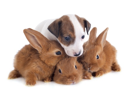 portrait of a cute purebred  puppy jack russel terrier and bunnies in front of white background Stock Photo - 19756203