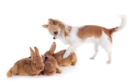 portrait of a cute purebred  puppy chihuahua and bunnies in front of white background Stock Photo - 19756056