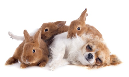 portrait of a cute purebred  puppy chihuahua and bunnies in front of white background Stock Photo - 19756101