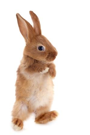 lapin blanc: jeune lapin Fauve de Bourgogne marchant devant un fond blanc