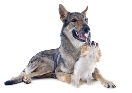 portrait of a purebred Czechoslovakian Wolfdog and chihuahua in studio photo