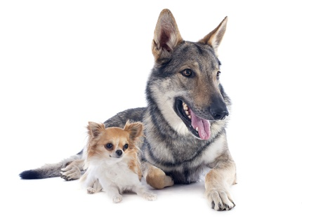 portrait of a purebred Czechoslovakian Wolfdog and chihuahua in studio Stock Photo - 19756109