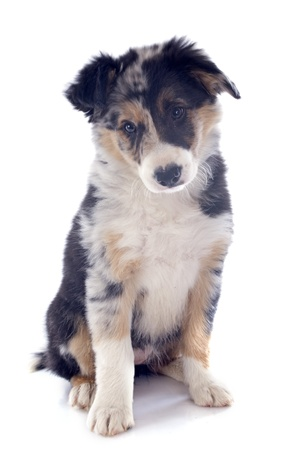 portrait of puppy border collie in front of white background Stock Photo - 19756078