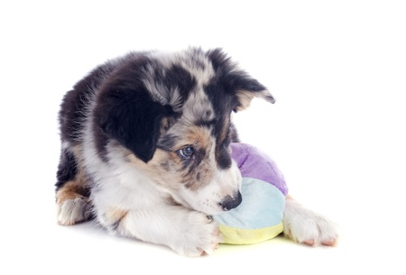 portrait of puppy border collie playing with a ball in front of white background Stock Photo - 19756090