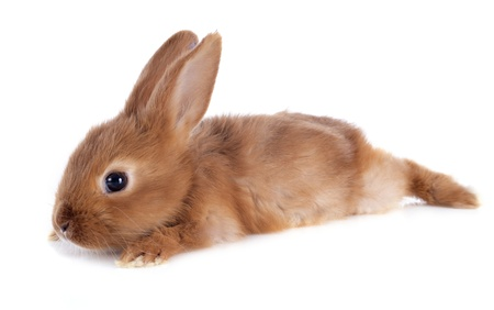 young rabbit fauve de Bourgogne sitting in front of white background photo