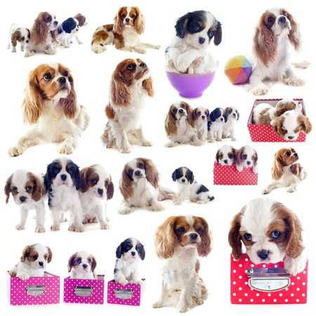 group of cavalier king charles in front of white background photo