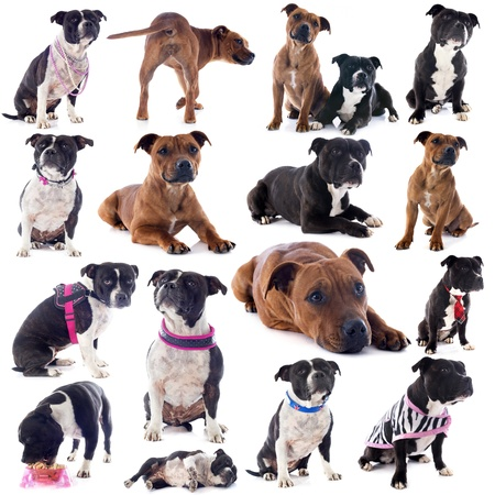 group of a staffordshire bull terrier in front of white background photo