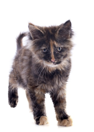 portrait of a purebred  maine coon kitten on a white background photo