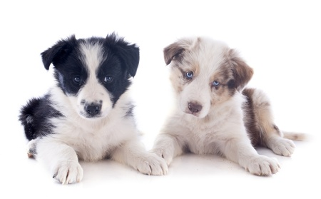 collies: portrait of puppies border collies in front of white background