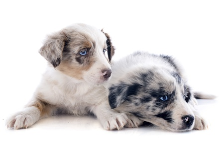 portrait of puppies border collie in front of white background photo