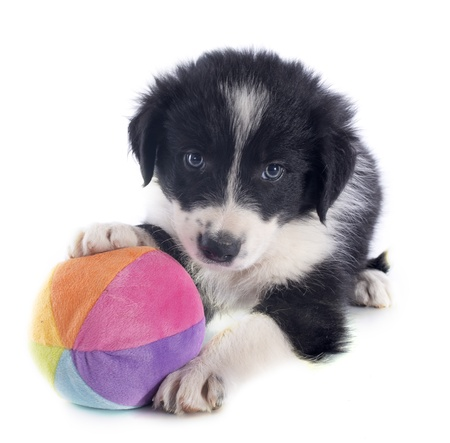dog toy: portrait of puppy border collie and ball in front of white background Stock Photo
