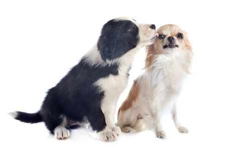 portrait of puppy border collie and angry chihuahua in front of white background photo