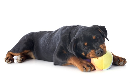 portrait of a playing puppy rottweiler in front of white background photo