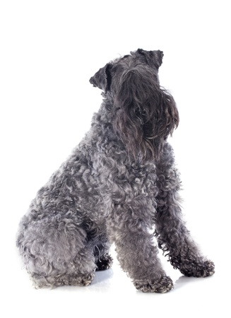 kerry blue terrier in front of white background photo