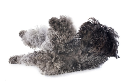 kerry blue terrier: rolling kerry blue terrier in front of white background