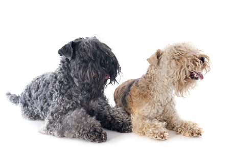 kerry blue terrier: Kerry blue terrier and lakeland terrier in front of white background Stock Photo
