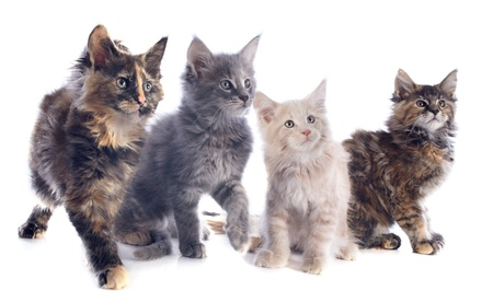 calico cat: portrait of four purebred  maine coon kitten on a white background