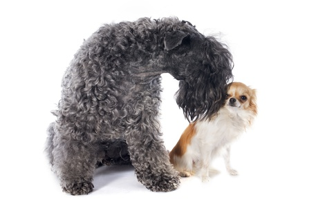 kerry blue terrier: kerry blue terrier and chihuahua in front of white background