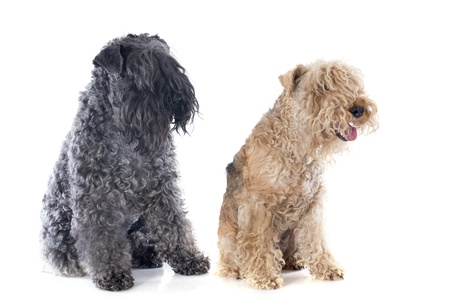 kerry blue terrier: kerry blue terrier and lakeland terrier in front of white background