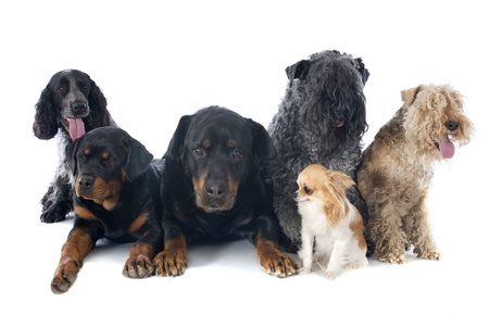 six purebred dogs in front of white background photo