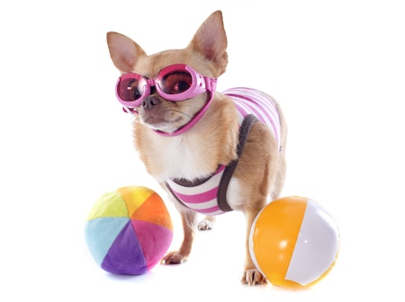 swimming costume: portrait of a cute purebred  chihuahua with swimming costume and sunglasses in front of white background