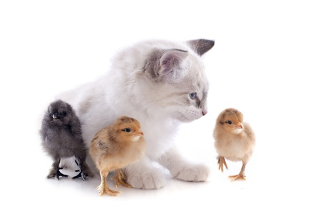 birman kitten: birman kitten and chicks in front of white background