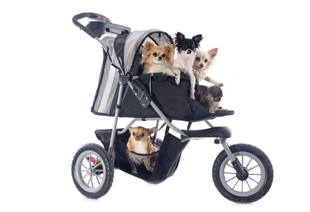 portrait of a cute purebred  chihuahuas in pushchair