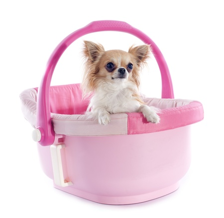 portrait of a cute purebred  chihuahua in a pink cosy Stock Photo - 20424246