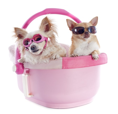 portrait of a cute purebred  chihuahuas in a pink cosy Stock Photo - 20424229