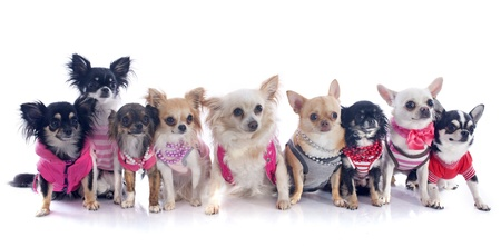 short hair dog: group of chihuahua dressed in front of white background