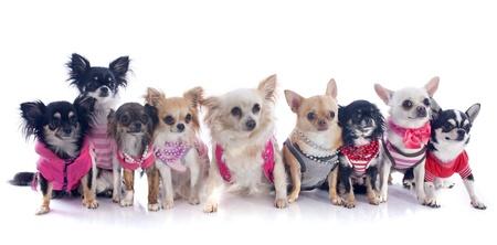 perros vestidos: Grupo de chihuahua vestido de fondo blanco Foto de archivo