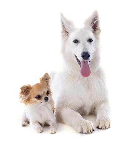 Purebred White Swiss Shepherd and chihuahua in front of white background photo