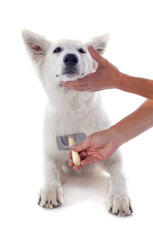 grooming of White Swiss Shepherd in front of white background photo
