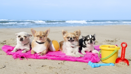 small group: portrait of a cute purebred  chihuahuas on the beach Stock Photo