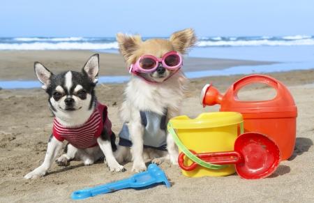 perros jugando: retrato de un lindo chihuahuas de pura raza en la playa