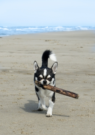 a chihuahua playing with a stick on the beach photo