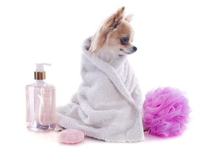 long haired chihuahua: purebred chihuahua after the bath in front of white background