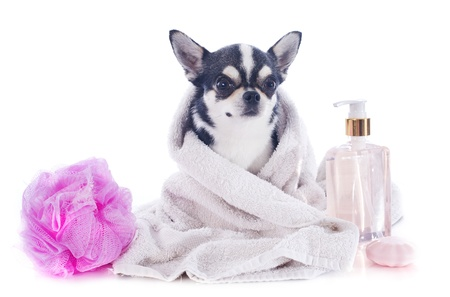 purebred chihuahua after the bath in front of white background photo