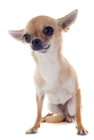 short hair dog: portrait of a cute purebred  puppy chihuahua in front of white background