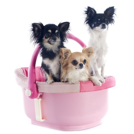 portrait of a cute purebred  chihuahuas in a pink cosy Stock Photo - 20481451