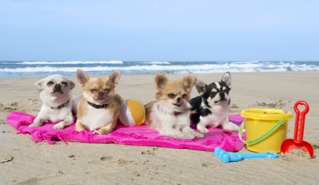 beach toys: portrait of a cute purebred  chihuahuas on the beach Stock Photo
