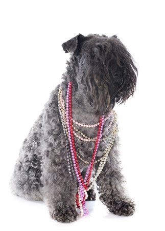 kerry blue terrier with collars in front of white background photo