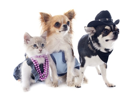 birman kitten: dressed birman kitten and chihuahuas in front of white background